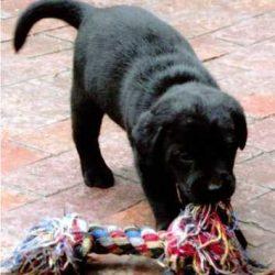 Labrador Spielt01